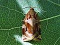 Archips xylosteana (2).jpg