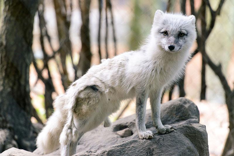 File:Arctic Fox Shedding Winter Fur (14391758811).jpg
