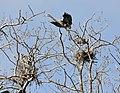 Ardea herodias -Illinois, USA -nests-8.jpg