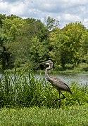 Ardea herodias in Heron Pond 4.jpg