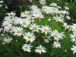 Argyranthemum - Image: Argyranthemum frutescens subsp. canariae