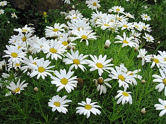 P.E.O. Sisterhood - The marguerite daisy, the P.E.O. flower