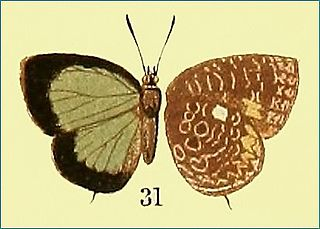 <i>Arhopala ammonides</i> species of insect