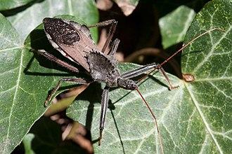 Centuria Insectorum - Arilus cristatus, named in Centuria Insectorum as Cimex cristatus