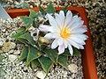 Ariocarpus retusus 001.JPG