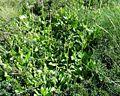 Arnica montana Vaccinio-Genistetalia.JPG