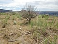 Artemisia dracunculus (post burn sagebrush steppe) (9764738101).jpg