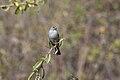 Ash-breasted Sierra-Finch (Phrygilus plebejus).jpg