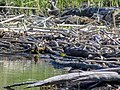 Ashy-headed Yellow Wagtail with Common Sandpiper (34800902864).jpg