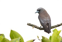 Ashy Woodswallow from Sundarban Tiger Reserve West Bengal India 2017.jpg