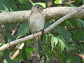 Asian brown flycatcher IMG 4898.jpg
