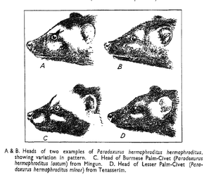 Paradoxurus - Image: Asianpalmcivetheads