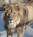 Asiatic Lion 1d.jpg