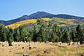 Aspen and Ponderosa Pine on mountainside (3972228760).jpg