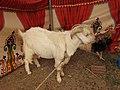 Assam goat-1-praba pet-salem-India.jpg
