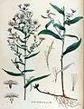 Aster brumalis — Flora Batava — Volume v15.jpg