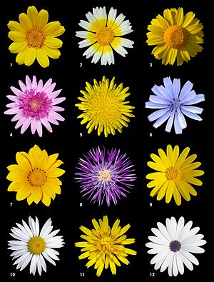 Asteraceae - A poster with 12 different species of Asteraceae from the subfamilies Asteroideae, Cichorioideae and Carduoideae