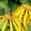 Asteraceae sp.-IMG 6106.jpg