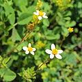 Asteraceae sp.-IMG 6920.JPG