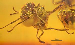 1915 in paleontology - Asymphylomyrmex balticus