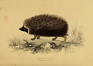 Southern African hedgehog - Illustration of Atelerix frontalis