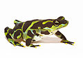 Atelopus limosus - male upland color form (5414901562).jpg