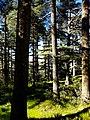 Atlas Cedars, Theniet El Had Wilaya, Tissemsilt, Algeria .jpg