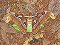 Attacus atlas - Atlas moth at Peravoor 2017 (15).jpg
