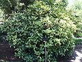 Aucuba Japonica Crotonofolia.JPG