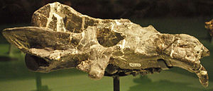 Exaeretodon - Skull of  Exaeretodon at the Royal Ontario Museum