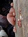Auricularia auricula-judae 110859601.jpg