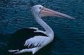 Australian Pelican (Pelecanus conspicillatus) (9822856043).jpg