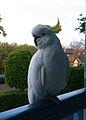 Australianbird.jpg
