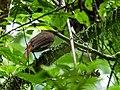 Automolus melanopezus - Brown-rumped Foliage-gleaner.jpg