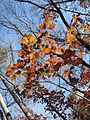 Autumn Leaves Umstead SP NC 3538 (4109368816).jpg