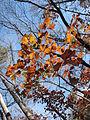 Autumn Leaves Umstead SP NC 3538 (4109368816).jpg