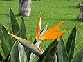 Ave del paraíso (Strelitzia reginae) (14176881679).jpg