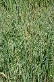 Avena sativa black oat, zwarte haver (2).jpg