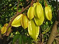 Averrhoa carambola ripe fruits at CIAT.JPG