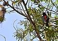 Aves en la Reserva Mbaracayú 4.jpg