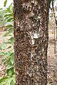Bénin-Trichilia emetica (2).jpg