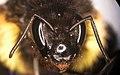B. ephippiatus face.jpg