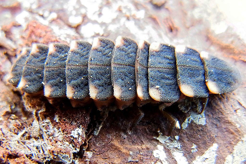 Svietivka svätojánska - larva