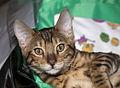 BEN Bengalian kitten (4493055358).jpg