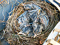 Baby birds in nest.jpg