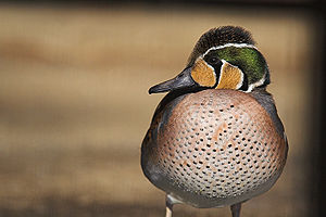Taedong River estuary Important Bird Area - The site is important for wintering Baikal teals