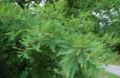 Bald Cypress Branch 2872px.jpg