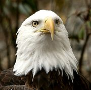 Bald Eagle at The National Zoo.