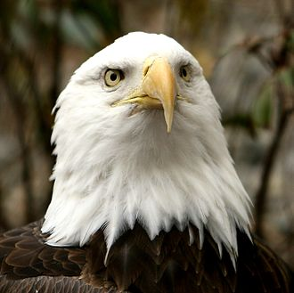 Bird vision - With forward-facing eyes, the bald eagle has a wide field of binocular vision.