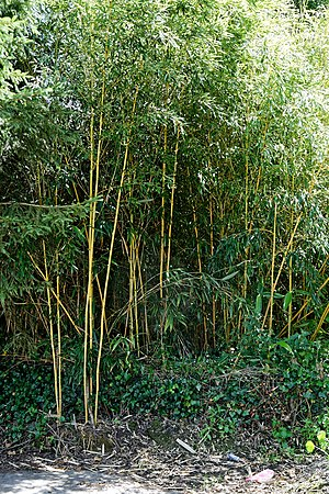 Bamboo in Nuthurst village, West Sussex England 1.jpg
